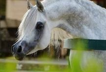 Horses - порода арабская