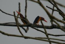 """Coraciformes: Martim-pescador / Kingfishers belong to the order CORACIIFORMES and the family ALCEDINIDAE.Within CORACIIFORMES, are suborder ALCIDINES,with todies (TODIDAE) and motmots (MOTMOTIDAE).ALCEDINIDAE comprises approximately 17 genera and 91 species,and is frequently subdivided into three subfamilies;ALCEDININAE,which comprises most of the """"fishing"""" kingfishers,HALCYONINAE,which comprises the """"forest kingfishers"""" that reside primarily in Australasia,and CERYLINAE,which includes all of the New World kingfishers."""
