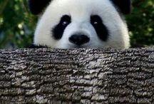 Pandalar
