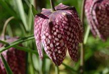 FRITILLARIA / Fritillaria Colours