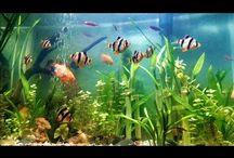 Video Jenis Ikan Hias