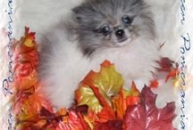 Our Poms / Our Beautiful happy babies!