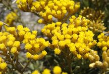 Immortelle.xyz / We help connecting producers and buyers of Helichrysum Italicum essential oil, dried herbs, hydrosol and aboslute with honest producers from regions which are home of Immortelle.