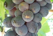 Vinkurs i Italia