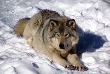 Eastern Wolf (Canis Lycaon) / News, information, status and research about the Eastern Timber Wolf