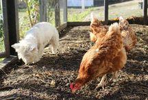 Hønsene / Billeder af vores skønne høns.