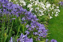 My plant and flowers / Le piante e i fiori del mio giardino anche quelle che vorrei