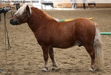 Shetland Pony / country of origin - Scotland | average height under 107 cm | colours - black, bay/brown, chestnut, grey, dilutes (cream, dun, silver, mushroom), tobiano pattern | uses - childern's mount, driving, therapeutic pony, pack pony