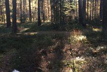 Walk in woods. Ludde a Bichon Frisé