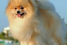 German Spitz / The term 'German Spitz' can actually refer to many types of dog that are of the Spitz origin. Some of them are classed as single breeds while some are still grouped together; confusingly, this can even vary from national kennel club to national kennel club!     http://www.noahsdogs.com/m/dogs/breed/German-Spitz#sthash.MYVQIl9W.dpuf