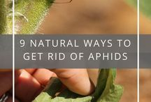 Natural ways to kill Afids & other insects