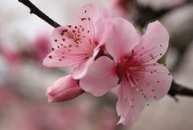 Japanese Flowers / learning japanese words through images