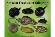 Amazon Stingray