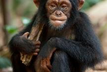 The Wonder of Disneynature's Chimpanzee