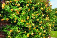 Possible Climbing Roses