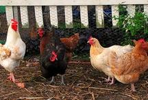 Chickens - I'm a Bird Brain! / by Dawn Collyott