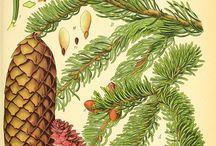Planches botaniques des plantes aromatiques / Botanical plates of aromatic plants / Botanical plates of aromatic plants used in aromatherapy / Planches botaniques des plantes utilisées en aromathérapie