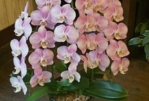 胡蝶蘭 / 色々な胡蝶蘭をUPしていこうと思っております。