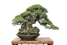 Alberelli bonsai