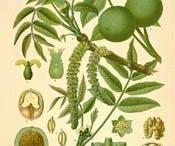 botanical illustrations of plants