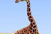 Zsiràfok/ giraffes