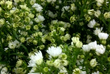 Asters in stock now (21-26 January)!