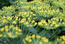 Dill / by Herb Society of America