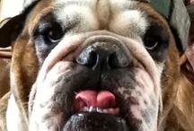 Winchester the Bulldog