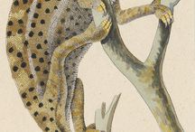 herpetological illustrations