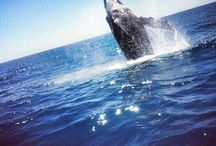 Guaranteed in Hervey Bay / Hervey Bay is the only place where the spine-tingling, jaw-dropping, heart-stirring encounters with the Humpback Whales are guaranteed. #whalesherveybay