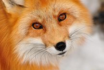 crazy for foxes / by Linda Norton