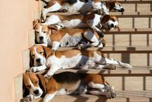 Beagles / My Pluto