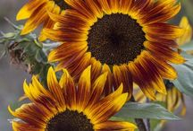 ** SuNfLoWeR **