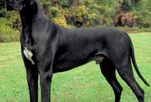 Great Danes <3 / by Kathleen Rose