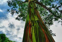 Happy Earth Day 2015 / Rainbow Eucalyptus Tree ~ Kaua'i Hawai'i  / by Medi-Tan