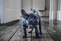frenchie obsession