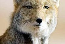 Tibetan foxes