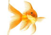 It's a fish thing! / Whether you're a complete beginner or an experienced keeper of coldwater or tropical fish, we've a superb range of accessories to suit you.  Our brands include Blue Ribbon ornaments, Tetra food & Accessories, Tropix accessories and our hugely successful Sydeco aquarium décor range.