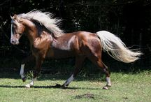 WIP Tennessee Walking horse / Author notes and inspiration