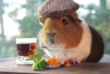 Fancy guinea pigs