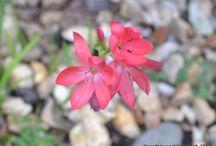 Hesperantha coccinea 'Major' AGM