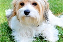 B So Chic!™ Pooch / All things for and about my Cavachon, Paris, and other lovely pooch's...