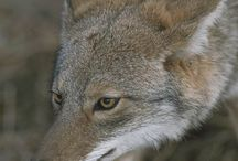 Canine reference... Coyote & wolf / Reference pictures