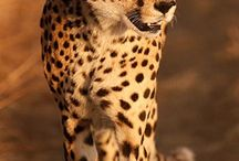 guépard / My animal totem ❤