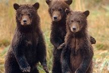 Medvede....