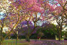Jacaranda season in Brisbane / Enjoy the pretty purple blooms of the Jacaranda Tree