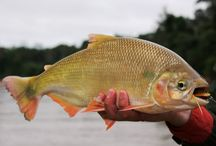 YATORANA / Fly fishing for yatorana.  Yatorana on the fly.