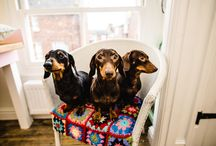 Bibelot's Sausage Dogs / Here at Bibelot we have some four legged friends (Sausage Dogs to be precise) who are essential team bibelot members. Sophie & Liz are owners of very cute Miniature Dachshunds. Sophie has two, Florence & Zebedee. Liz owns beautiful Belle