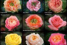 Odrudy růží