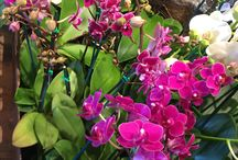Orchids / Phalaenopsis, Dendrobium, Vanda, Cymbidium, and more.